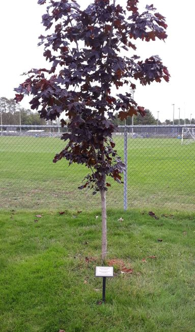Image of half grown red maple with plaque in front